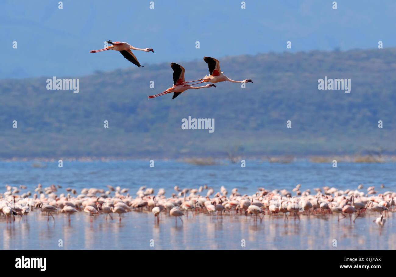 Stormo di fenicotteri wading nella laguna poco profonda l'acqua Immagini Stock