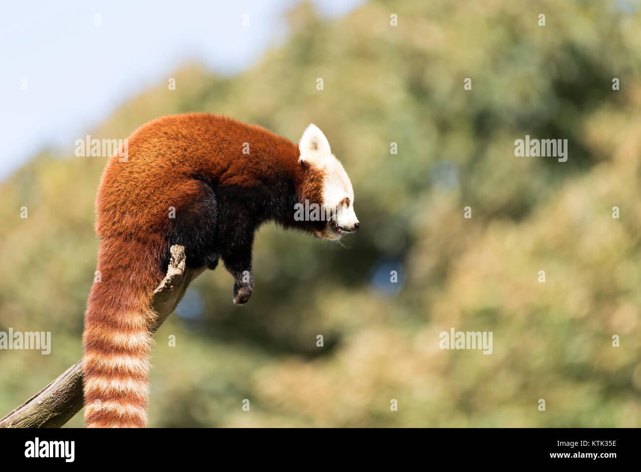 Panda rosso in una struttura ad albero Immagini Stock