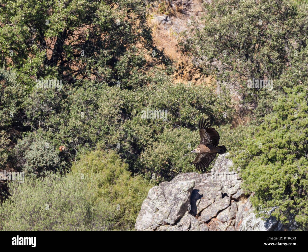 Grifone in volo presso il Parco Nazionale di Monfragüe. Extremadura. Spagna. Immagini Stock