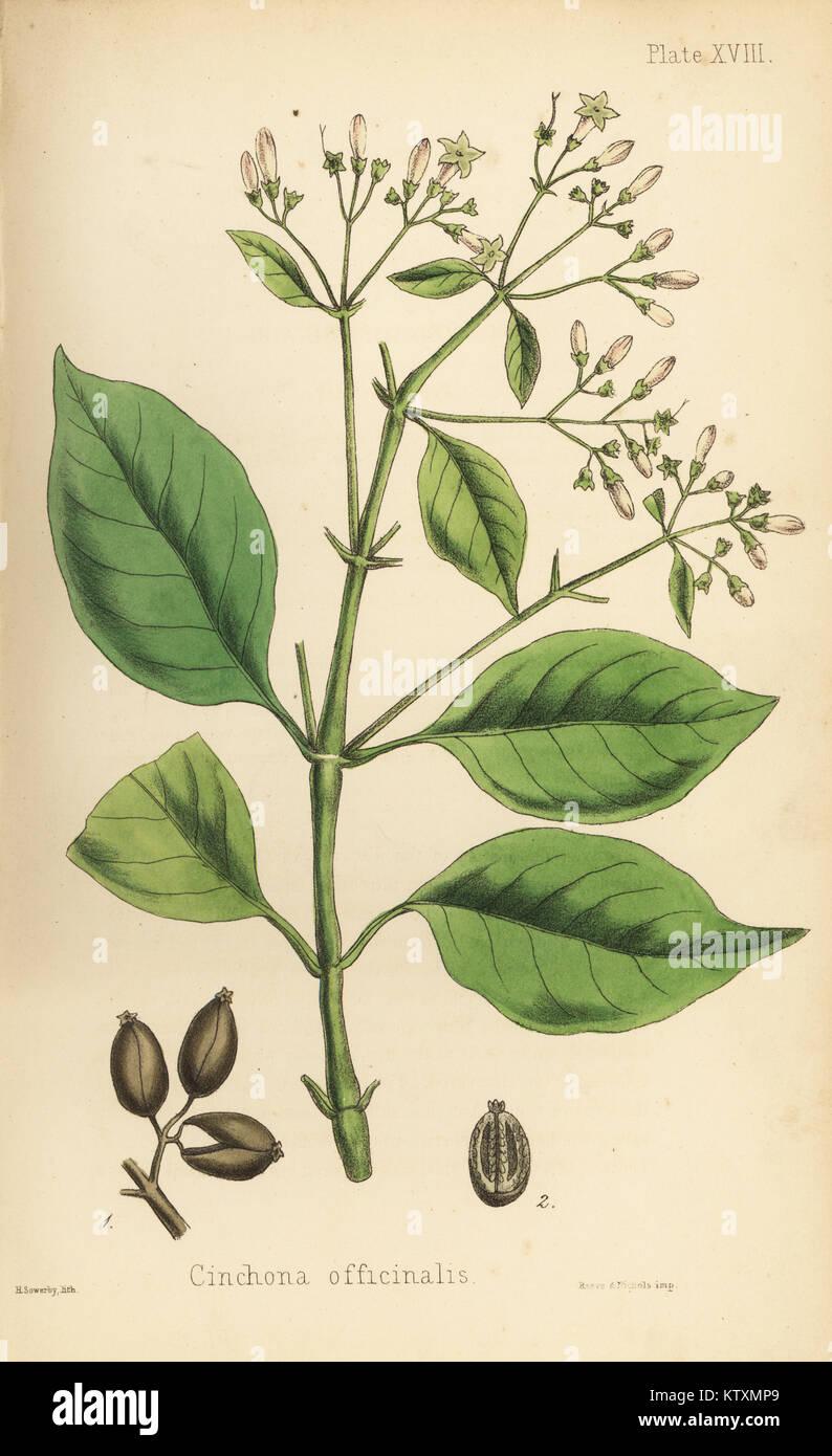 Corteccia peruviana ad albero o albero di chinino, China officinalis. Litografia Handcolored da Henry Sowerby da Immagini Stock