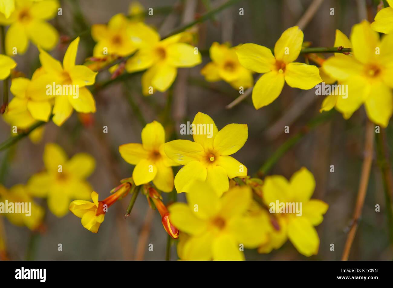 Fiori Gialli In Primavera.Inverno Gelsomino O Jasminum Nudiflorum Arbusti Decidui Che