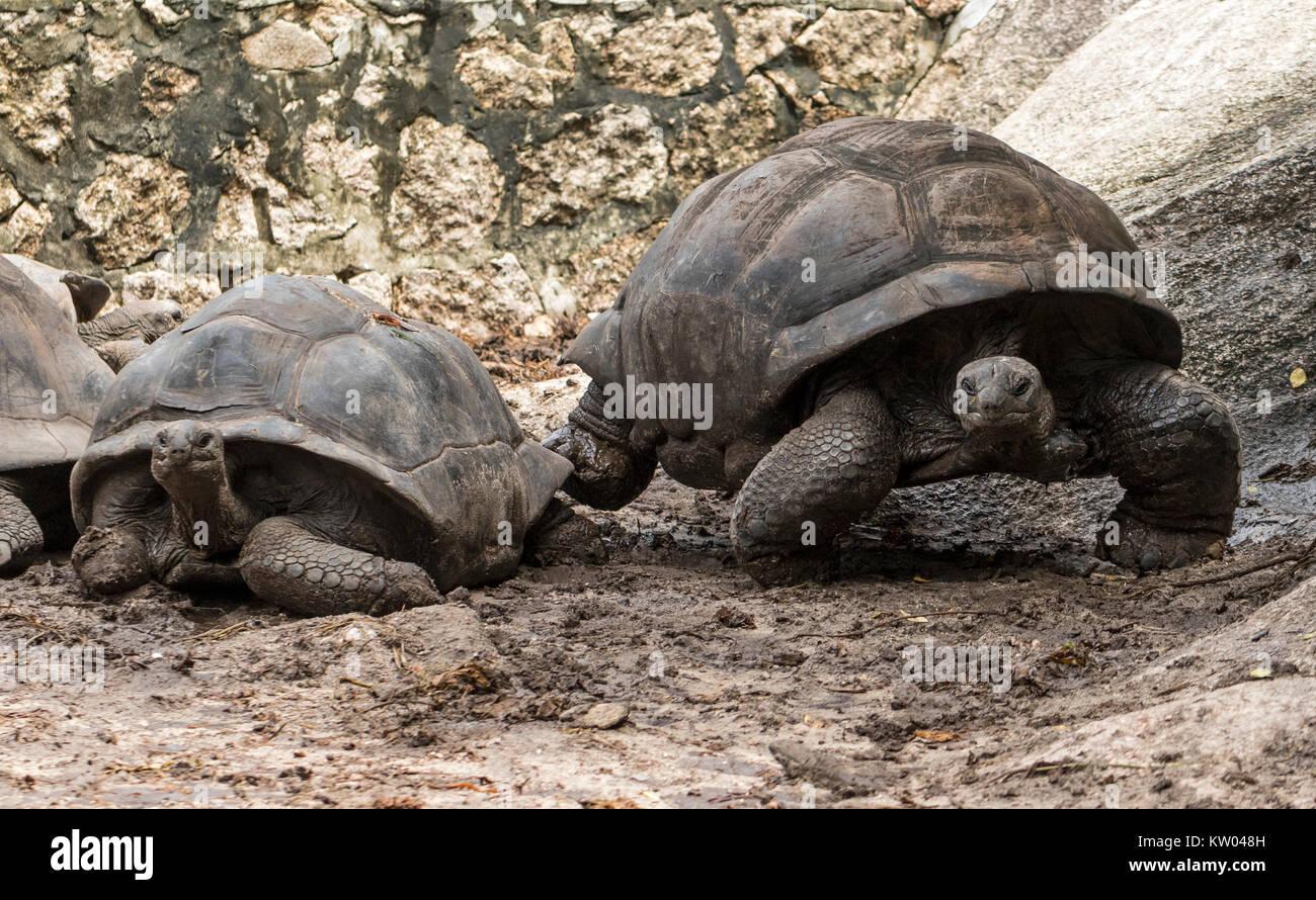Tartaruga gigante di Aldabra (Aldabrachelys gigantea), Testudinidae. L'Union Station Wagon Farm Foto Stock