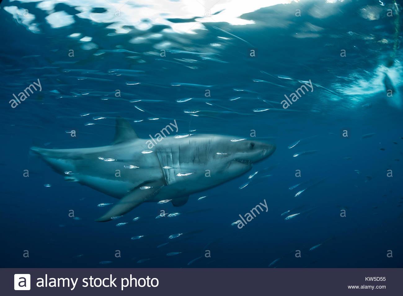 Un grande squalo bianco nuota in Isla Guadalupe Riserva della Biosfera off Baja California. Immagini Stock