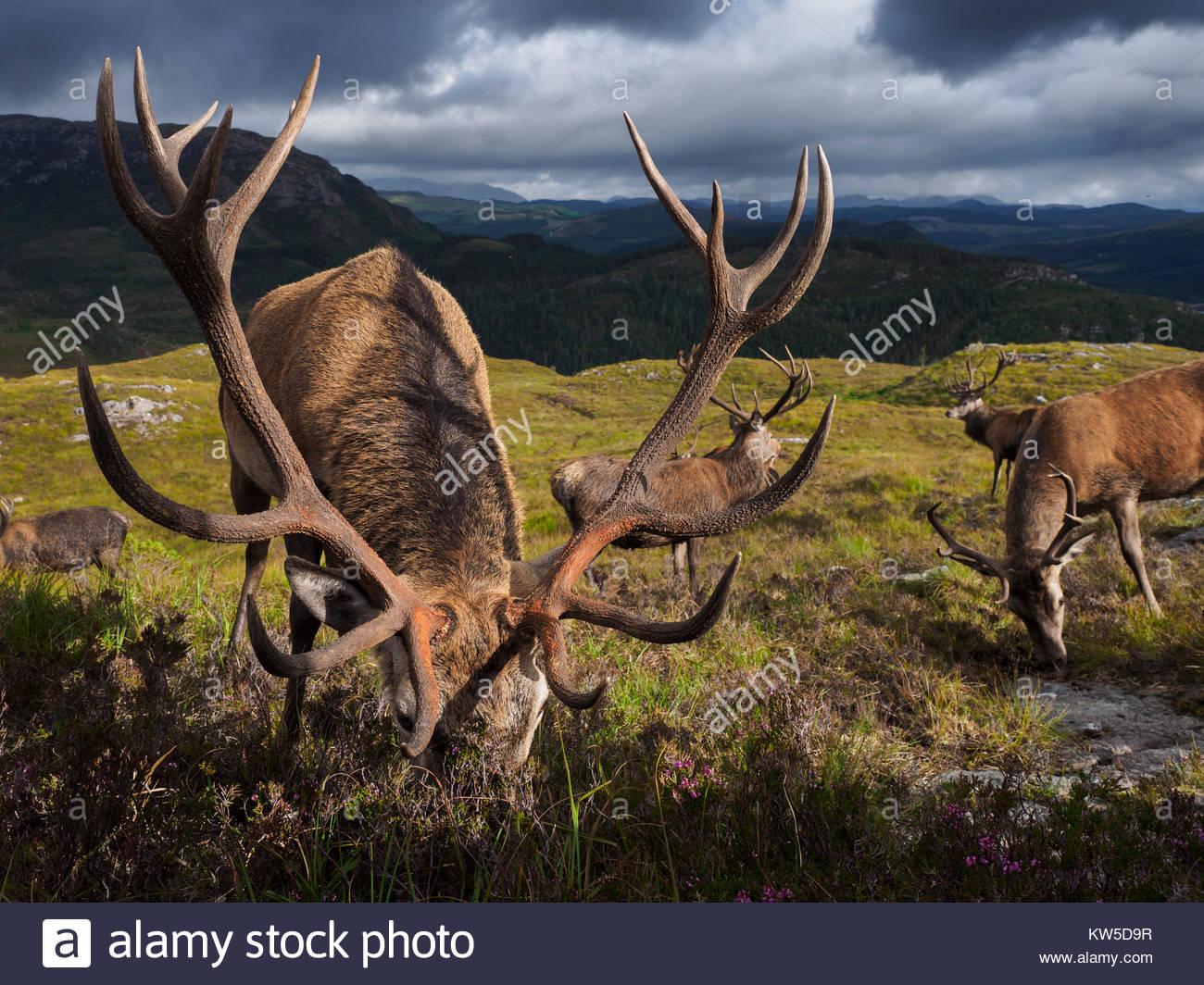 La popolazione di cervi a Reraig foresta sono alimentati dal guardiacaccia per stimolare la crescita di corna. Immagini Stock