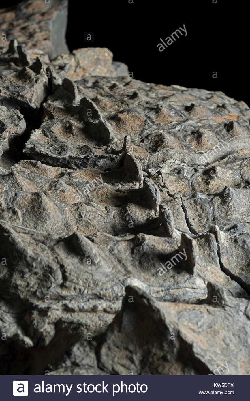 A causa della compressione del nodosaur il corpo, la colonna vertebrale attivato attraverso la carne della schiena. Immagini Stock
