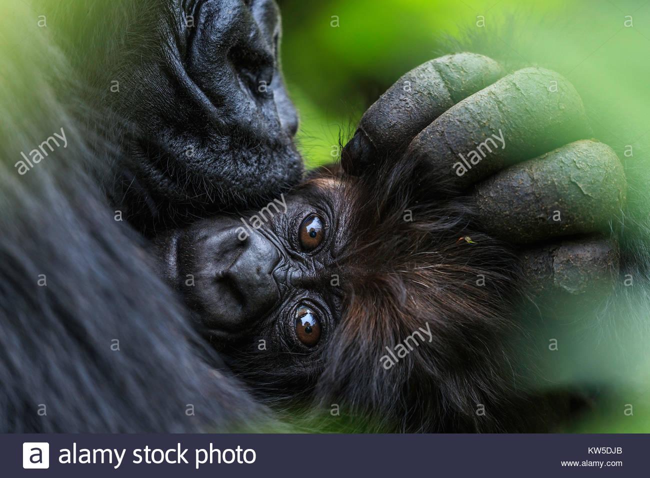 Un gorilla di montagna madre accarezza i suoi tre-mese-vecchio neonato. Immagini Stock