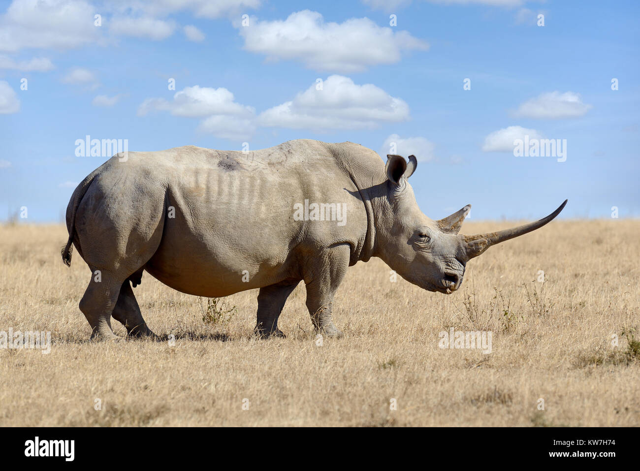 African white rhino, parco nazionale del Kenya, Africa Immagini Stock