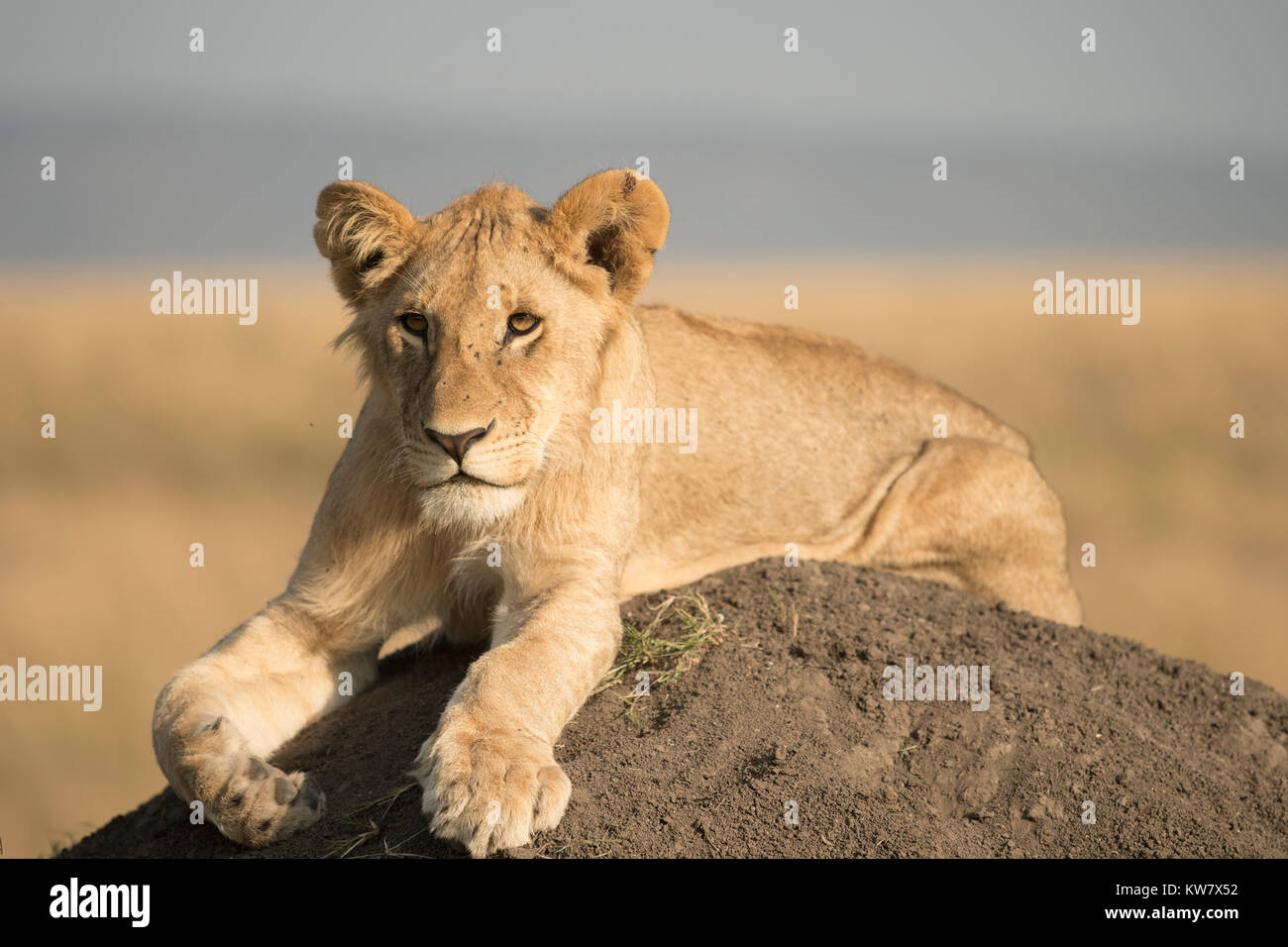 Lion (Panthera leo) cub seduto su un tumulo termite guardando avanti nel Masai Mara Game Reserve in Kenya Immagini Stock