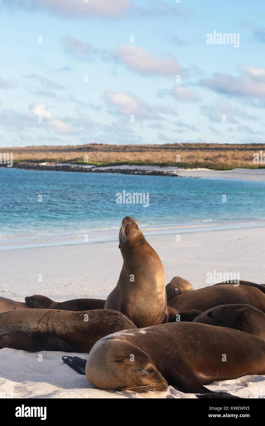 Le Galapagos i leoni di mare ( Zalophus wollebaeki ), Baia Gardner, all'Isola Espanola, Isole Galapagos, Ecuador Immagini Stock