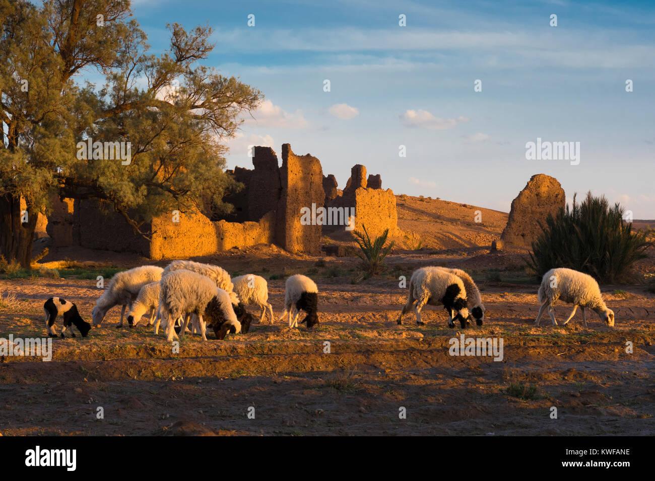 Pecore al pascolo nei dintorni idilliaci della Kasbah al tramonto. Immagini Stock