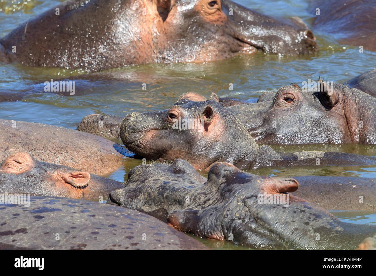 Il comune di ippopotamo, o di Ippona, è un grande, principalmente, erbivori semiaquatic mammifero nativo per l'Africa Foto Stock