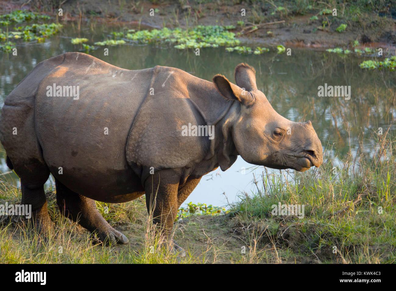 I capretti maggiore di un corno di rinoceronte (Rhinoceros unicornis) in Chitwan il parco nazionale, il Nepal Immagini Stock