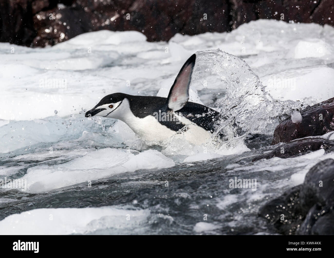 Piscina di pinguini dal sottogola; Pygoscelis antarcticus; inanellato penguin; barbuto penguin; stonecracker penguin; Immagini Stock