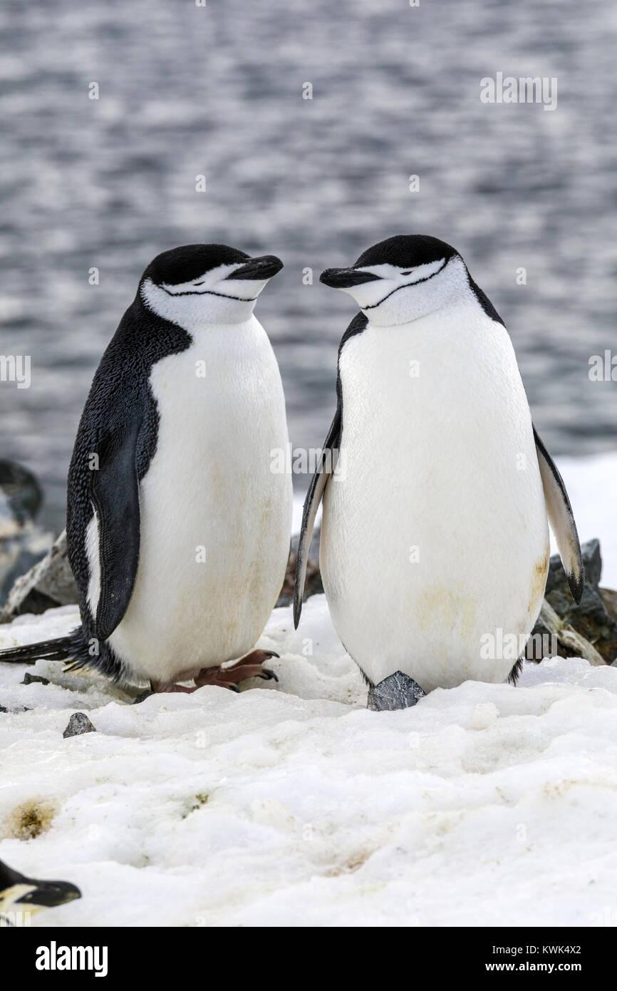 Pinguini Chinstrap; Pygoscelis antarcticus; inanellato penguin; barbuto penguin; stonecracker penguin; Half Moon Immagini Stock