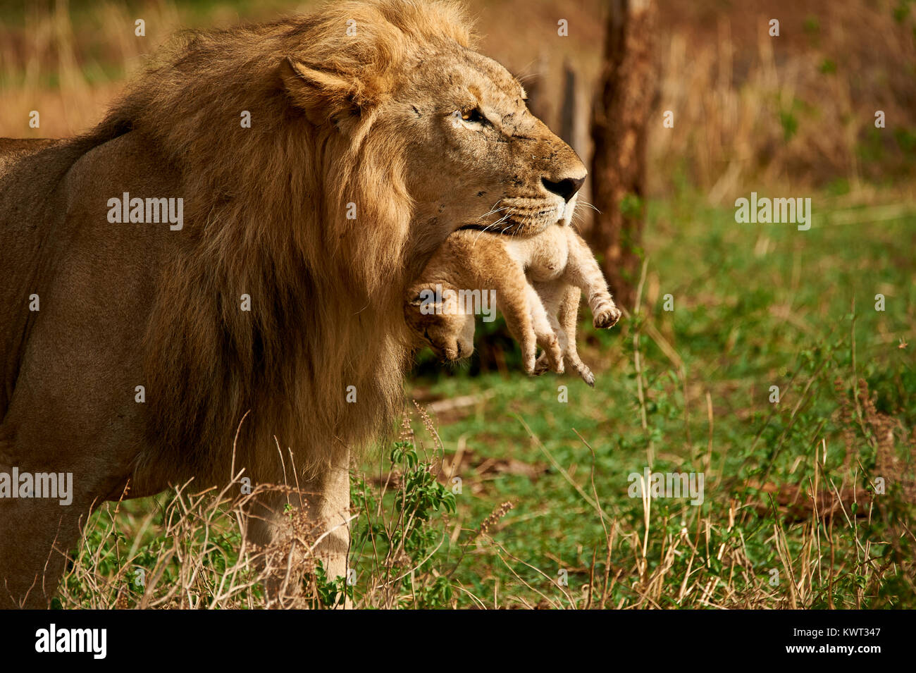 Leone maschio che porta uno dei suoi cuccioli Immagini Stock