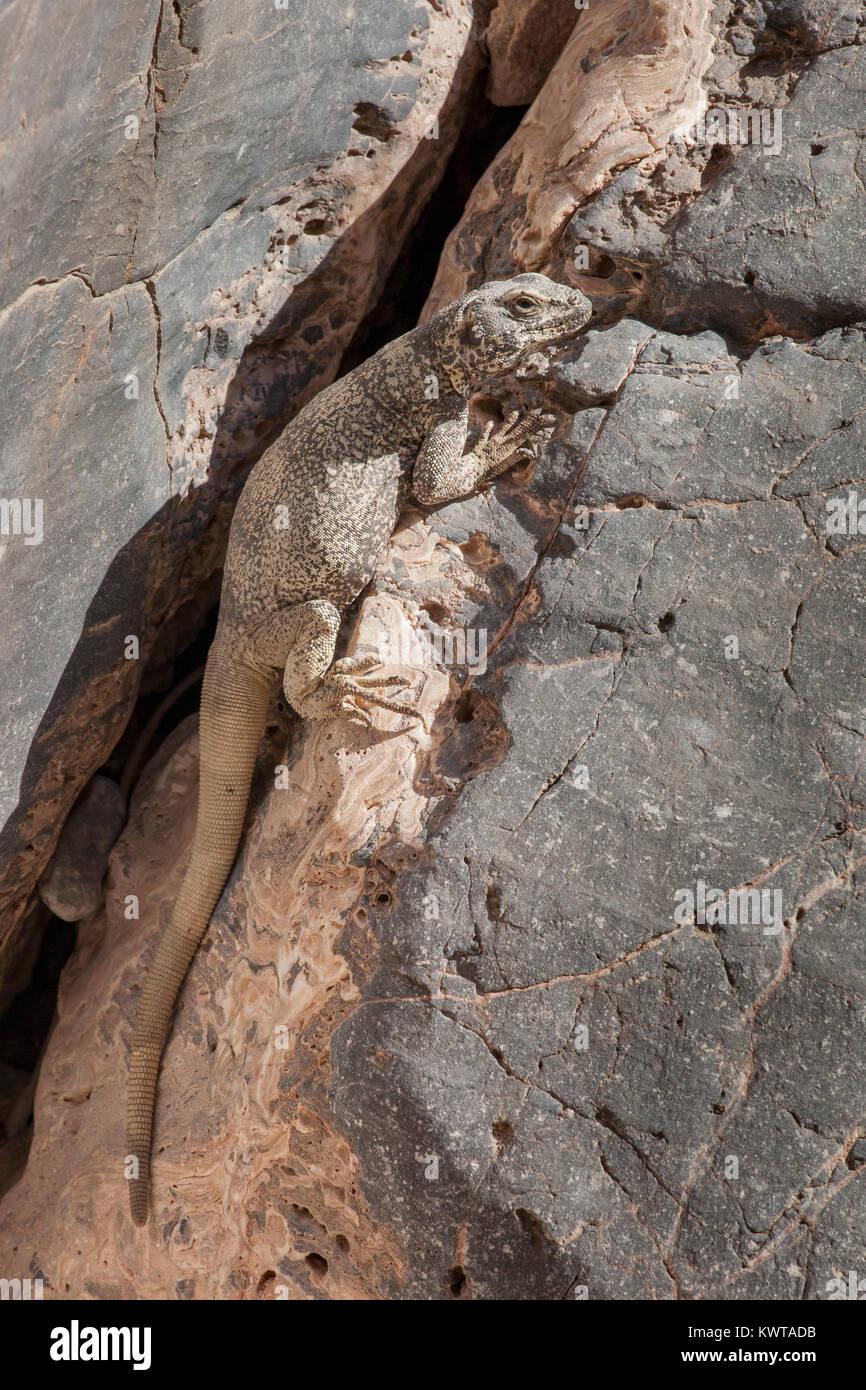 Chuckwalla (Sauromalus ater [precedentemente noto come Saurmalus obesus]) emergenti da una roccia crevase bask nel Immagini Stock
