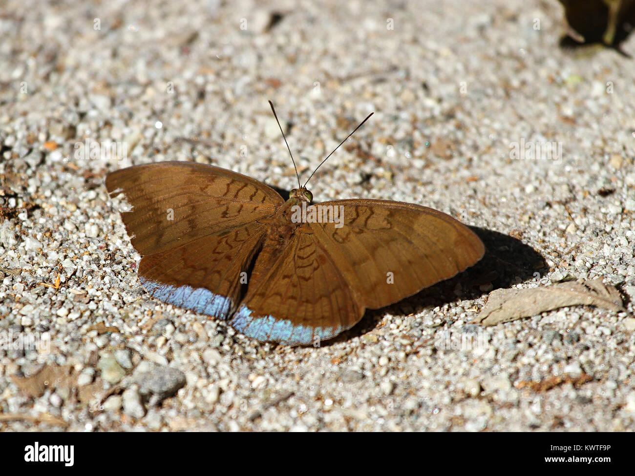 Comune modificabile Earl crogiolarsi sulla sabbia nei pressi delle rive del fiume Immagini Stock