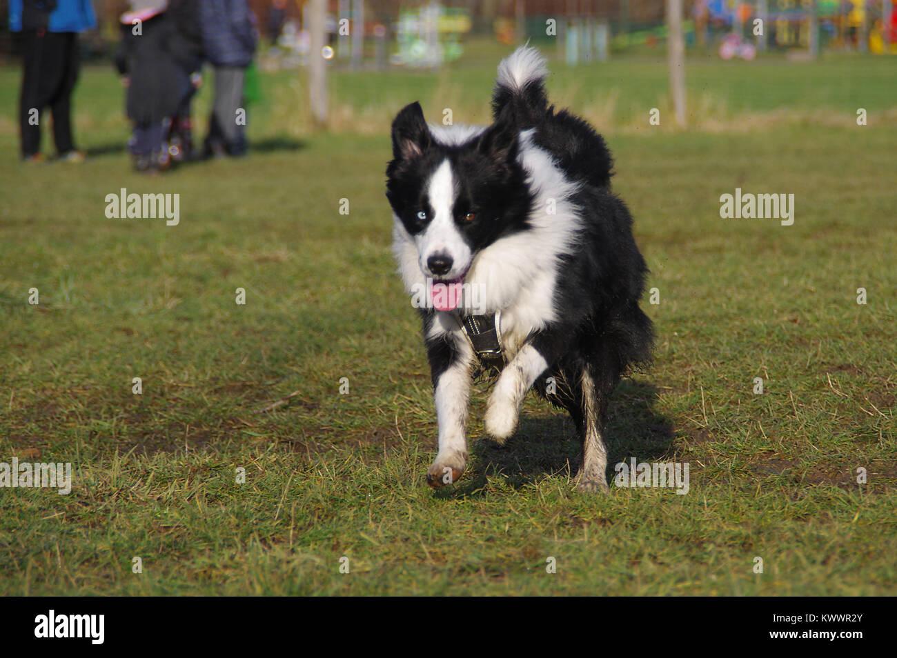 Felice Border Collie sull'erba. Giovani attenti cane è in esecuzione sul prato. La socializzazione degli Immagini Stock