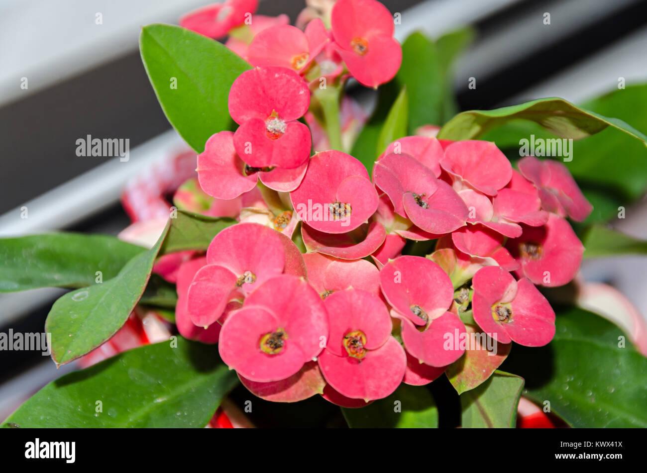 Pianta Fiori Rossi.Euphorbia Rosa Fiori Rossi La Corona Di Spine Di Cristo Pianta