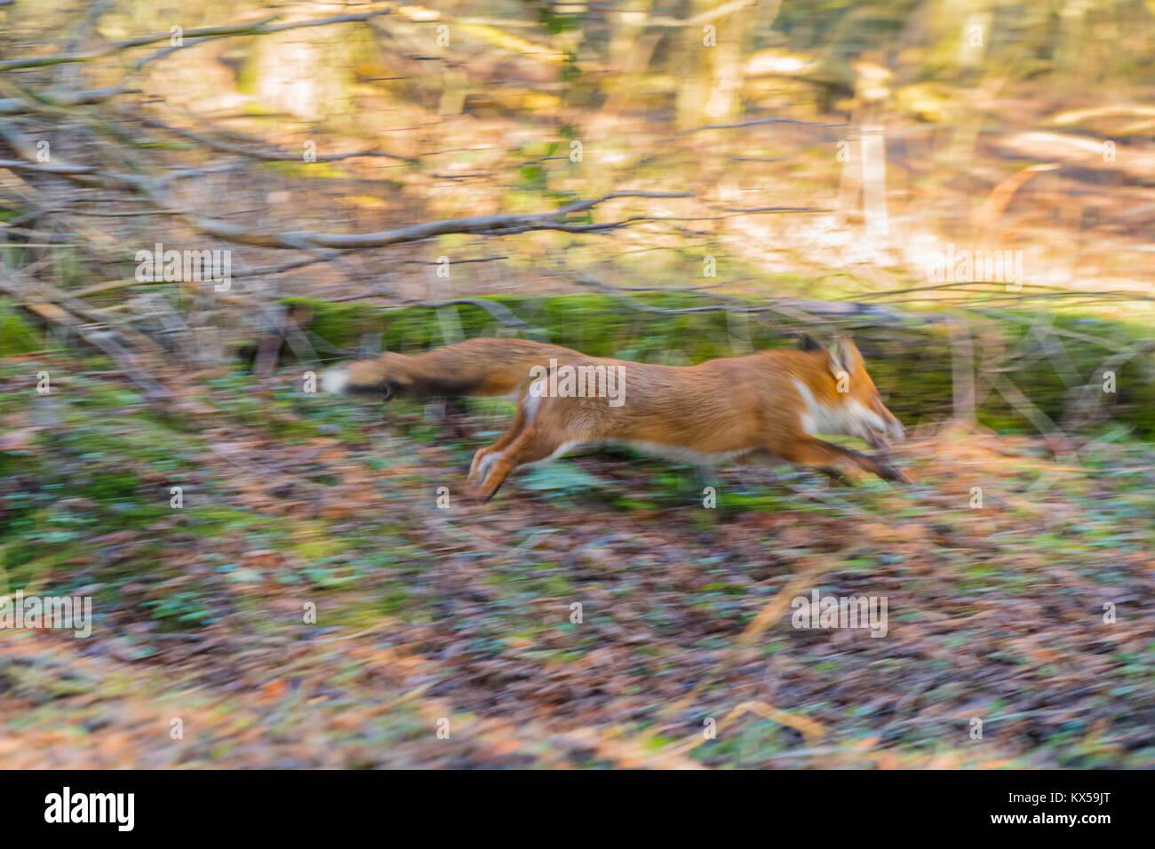 Rosso europeo volpe (Vulpes vulpes) in esecuzione attraverso boschi nel Herefordshire UK campagna Immagini Stock