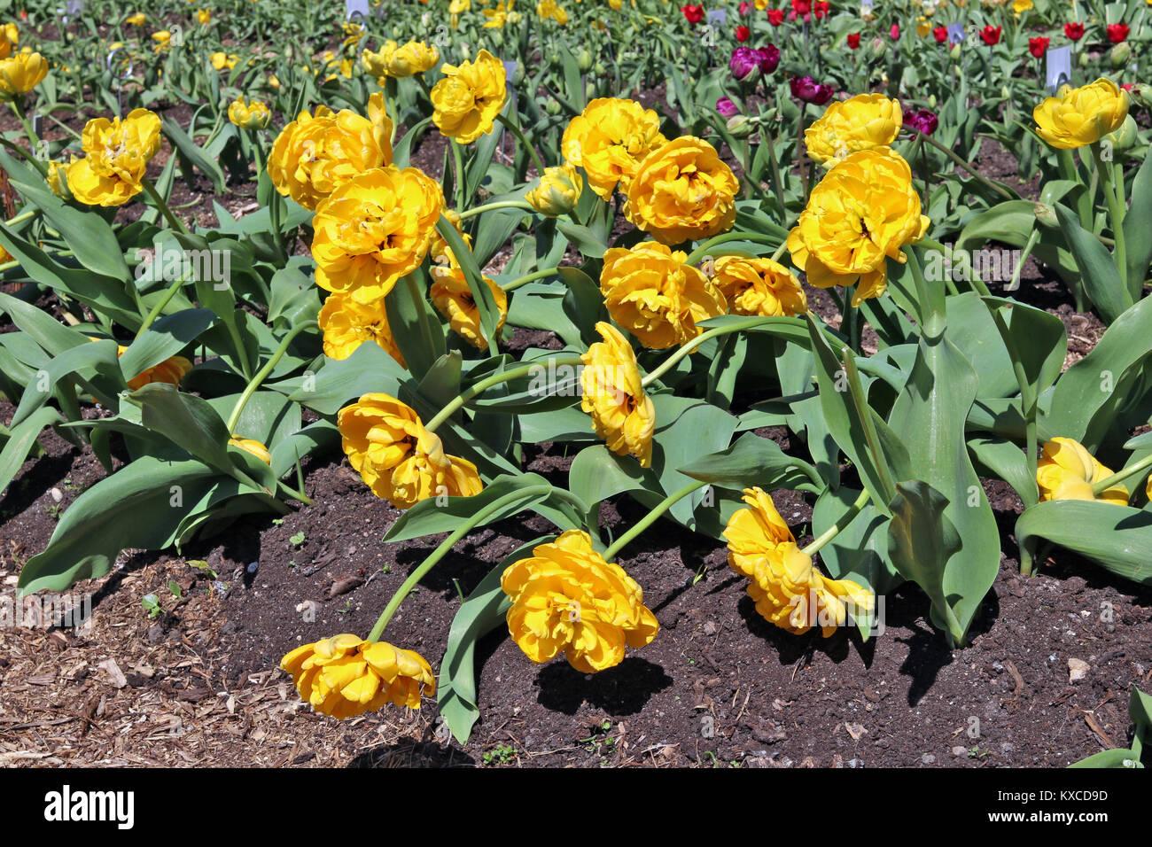 Fiori Gialli Maggio.Giallo Terry Tulipani Olandesi Blossom Su Un Fiore Di Primavera