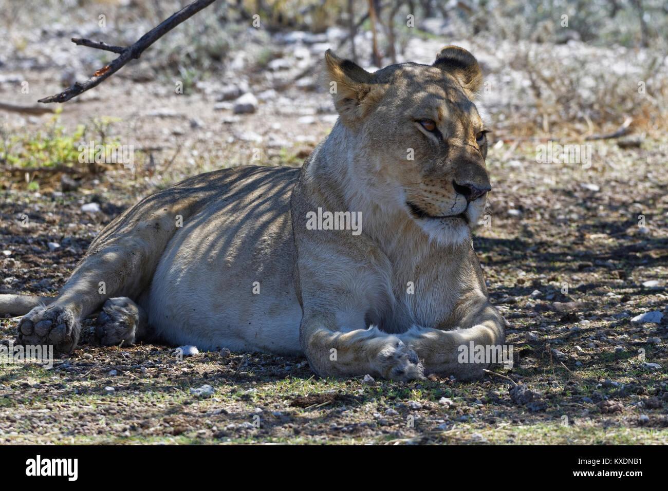 Leone africano (Panthera leo), leonessa giacente all'ombra di un albero, avviso, il Parco Nazionale di Etosha, Immagini Stock