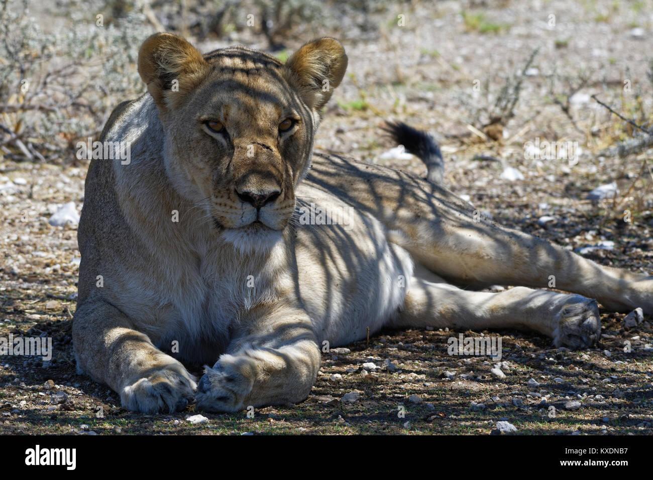 Leone africano (Panthera leo), leonessa giacente all'ombra di un albero con testa in alto, avviso, il Parco Immagini Stock