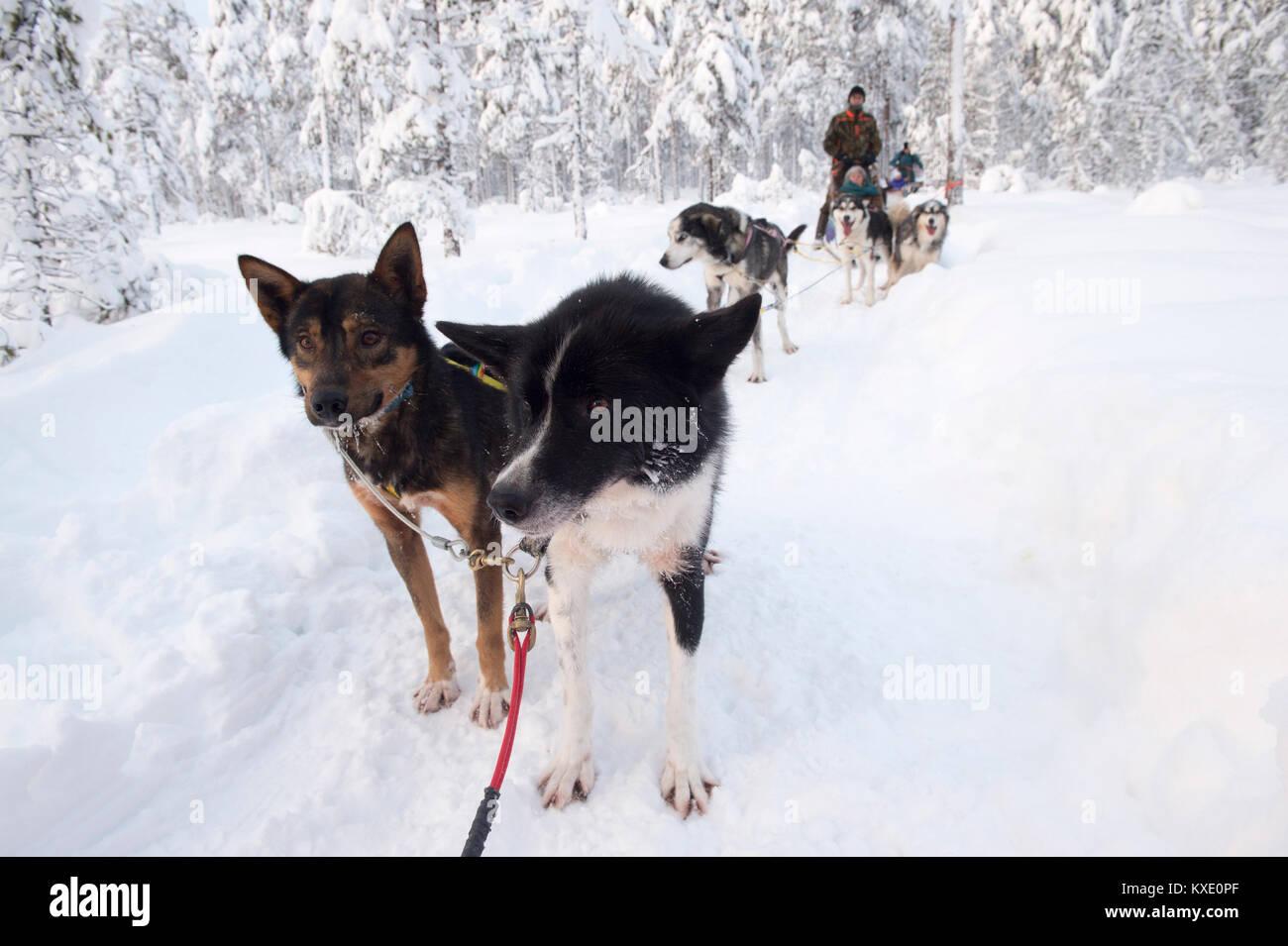 Poltiglia cani in pausa durante lo sleddog in svedese foresta d'inverno. Immagini Stock