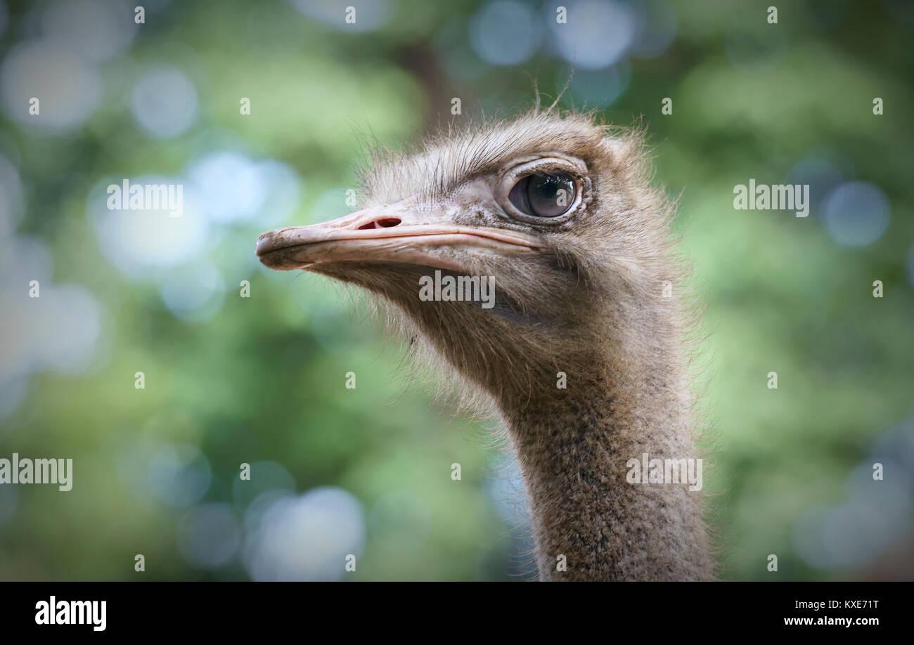 Le ostriche sono di consumare la colazione nel giardino zoologico, che attira molti animali rari per i visitatori Immagini Stock