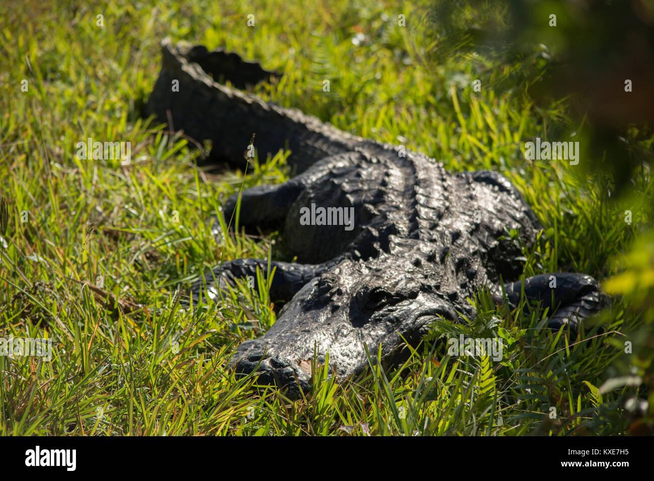 Il coccodrillo americano (Alligator mississippiensis) da Miami-Dade County, Florida, Stati Uniti d'America. Immagini Stock