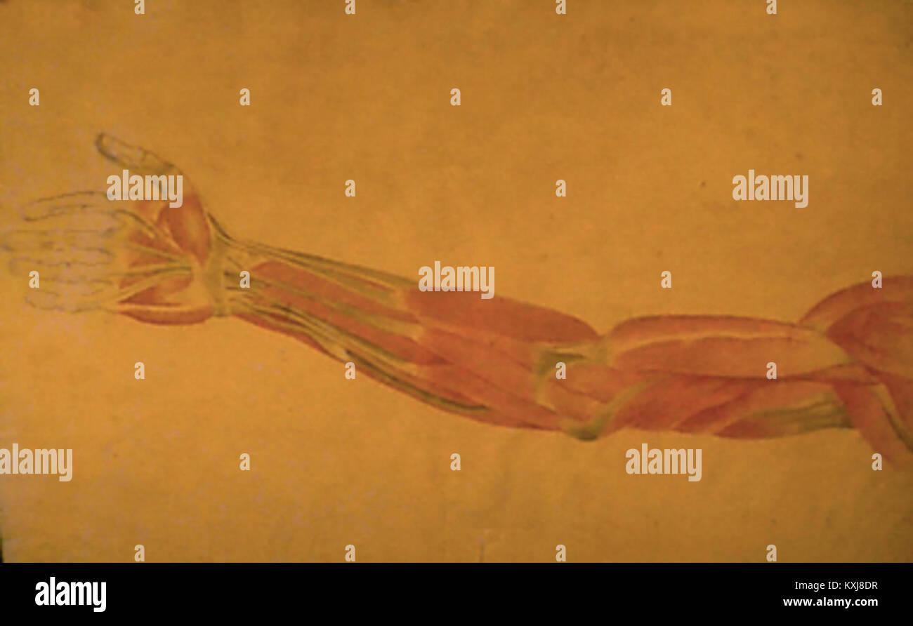 Anatomía Immagini Stock