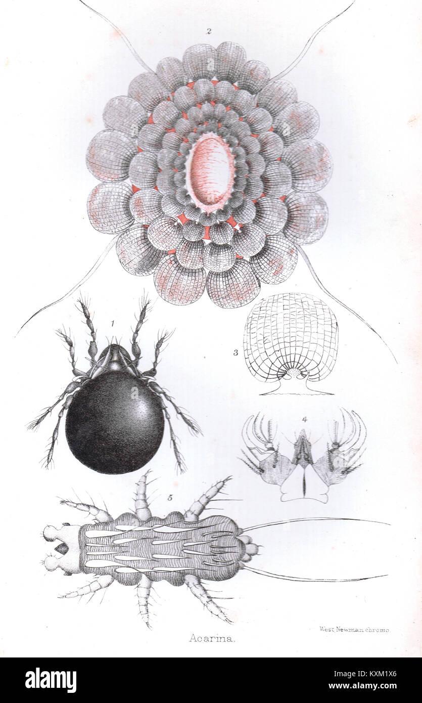 Acari o Acarina, secolo XIX chromolithograph Immagini Stock