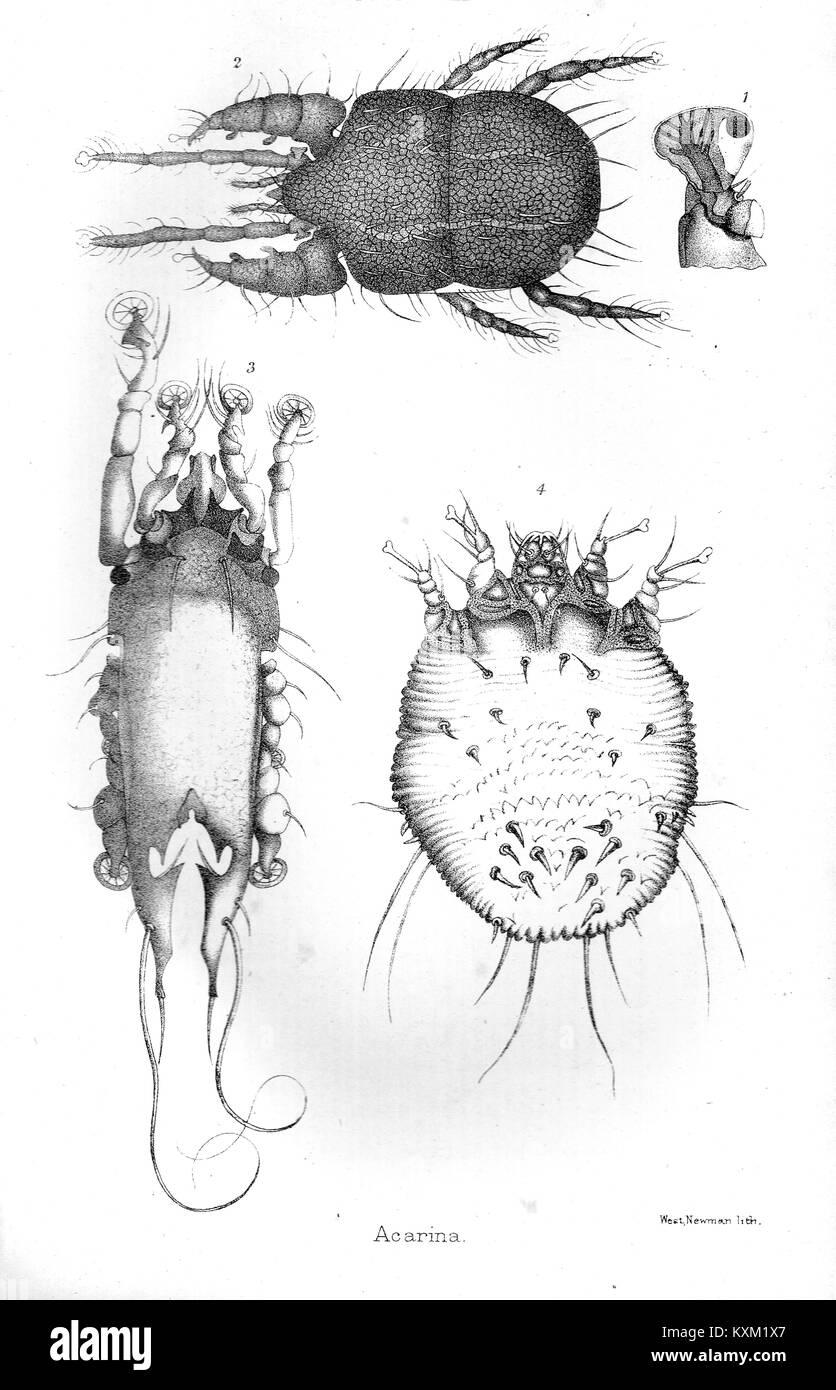 Acari o Acarina, secolo XIX campione Immagini Stock