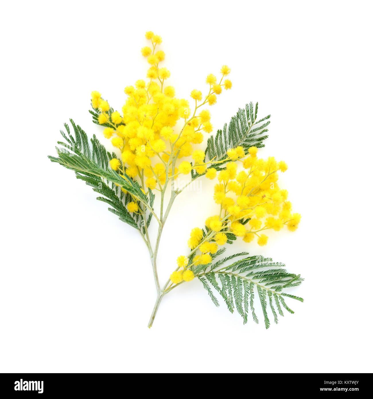 La Mimosa (argento graticcio) ramo isolato su sfondo bianco Immagini Stock f44f406aa003