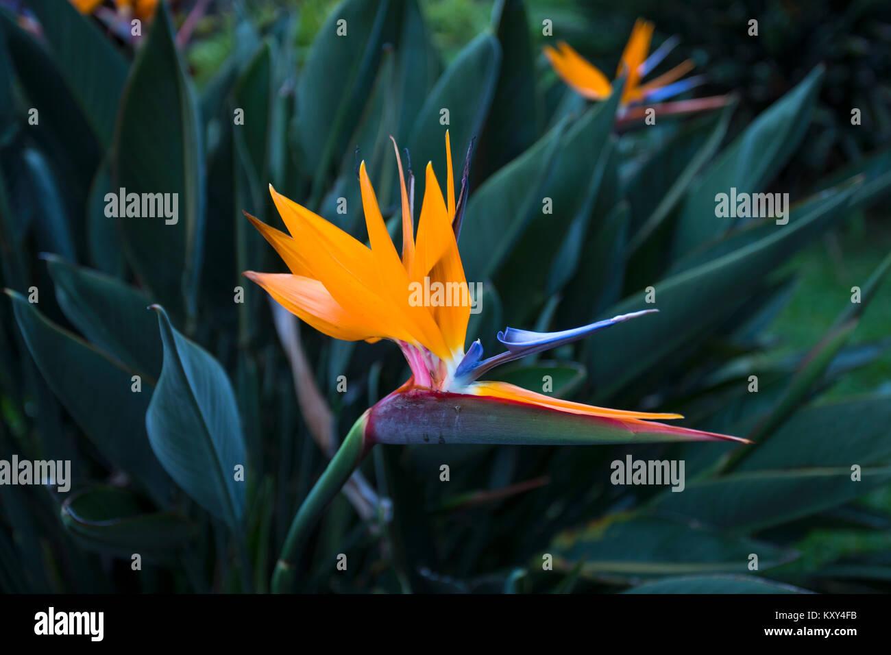 Uccello del Paradiso fiore Hawaii giardino botanico. Fiore
