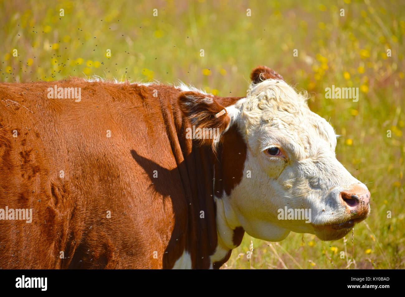 Misere di mucca con migliaia di mosche irritante per lei - essa si erge in un campo sfocata di tarassaco. Immagini Stock