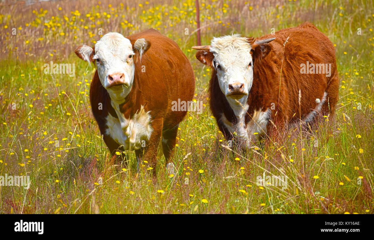Bull e la mucca in un campo di tarassaco, una vacca ha le corna, l'altra mucca erba ha nella sua bocca. Vacca Immagini Stock