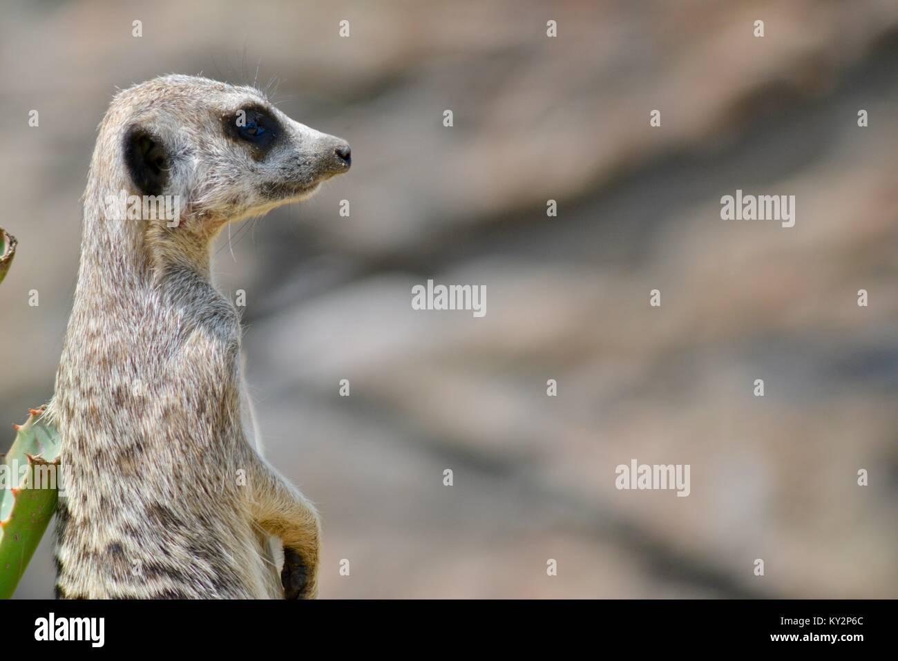 Meerkat lo Zoo Australia, Beerwah, Queensland, Australia Immagini Stock