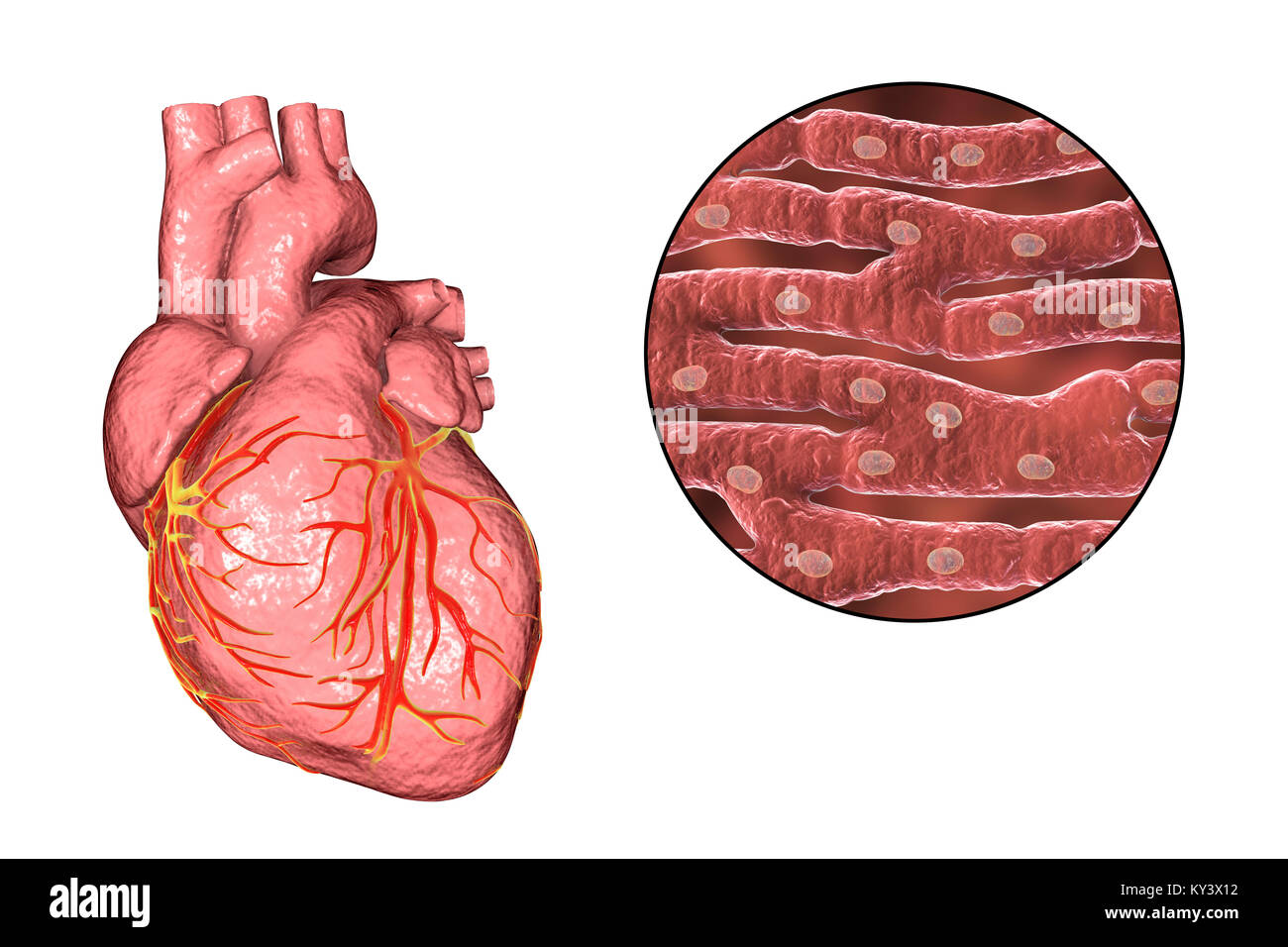 Cuore computer illustrazione il cuore una cava sac for Vasi coronarici