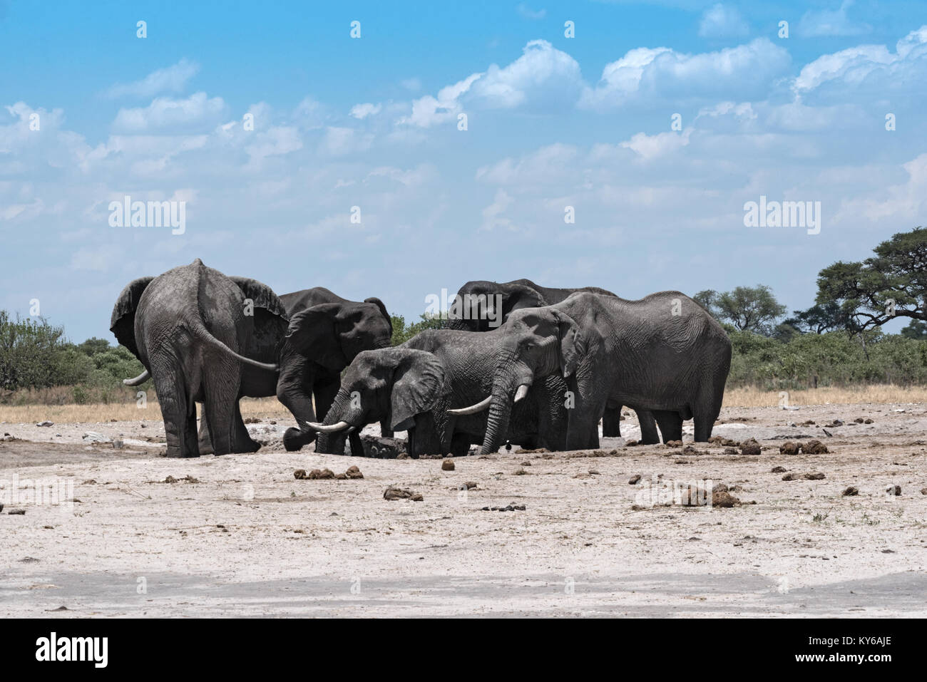 Gruppo di elefanti a waterhole Chope nel Parco Nazionale del Botswana Foto Stock