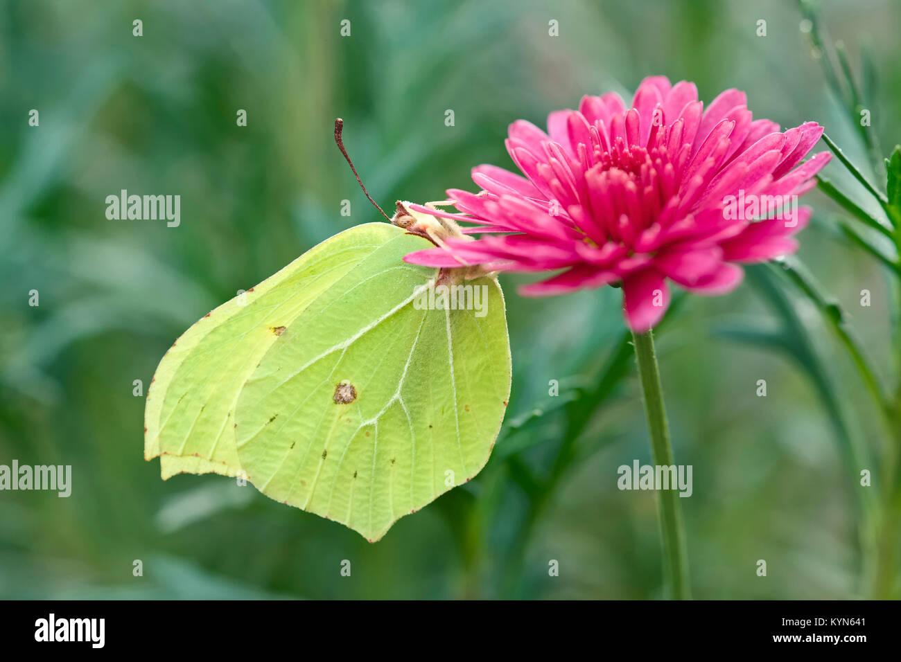 Brimstone Butterfly poggiante su Marguerite daisy fiori - Gonepteryx rhamni Immagini Stock