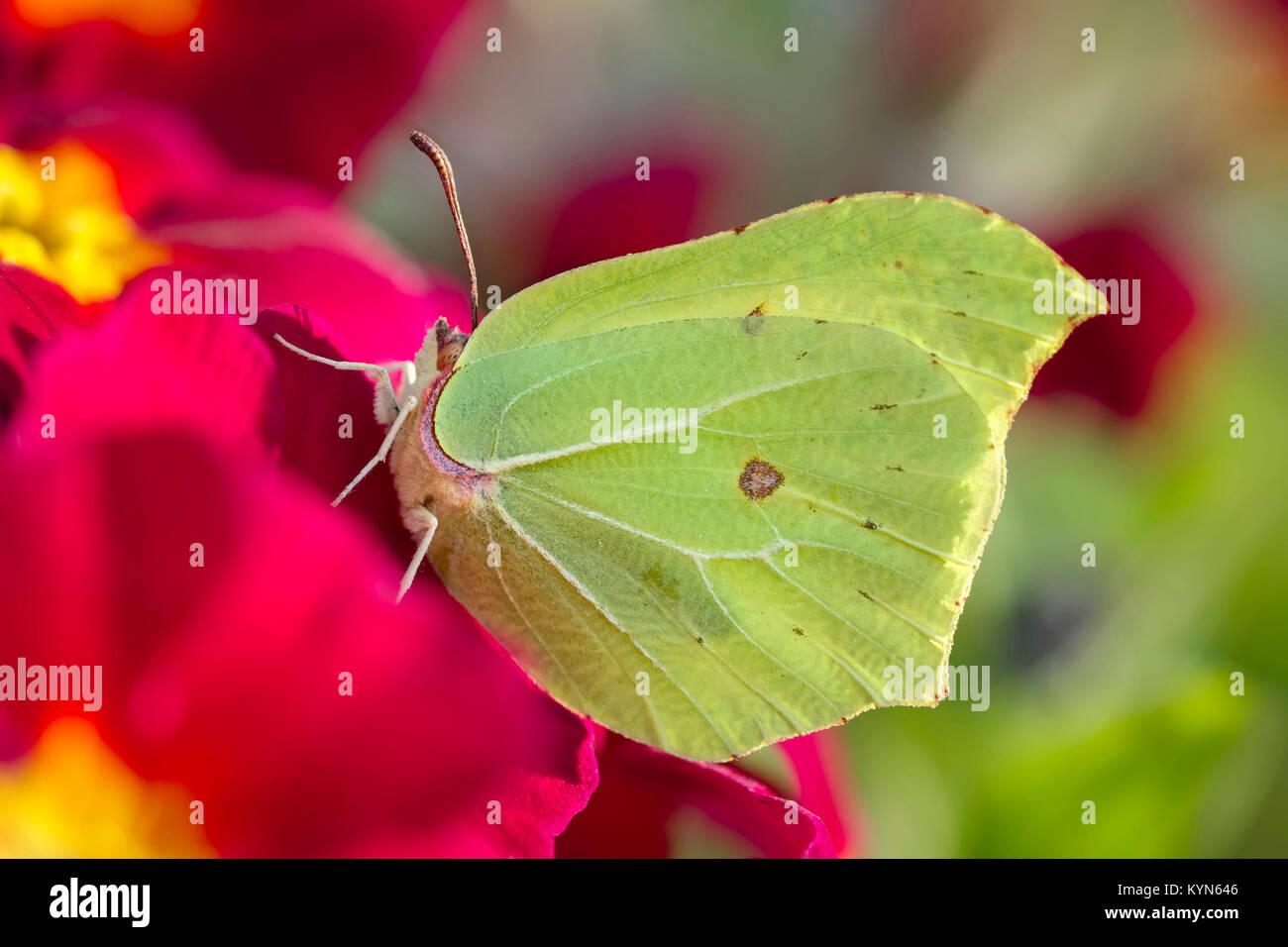 Brimstone Butterfly poggiante su primula flower - Gonepteryx rhamni Immagini Stock