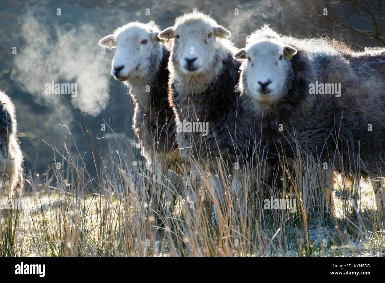 Herdwick pecore in inizio di mattina di gelo. Cumbria, Regno Unito. Immagini Stock