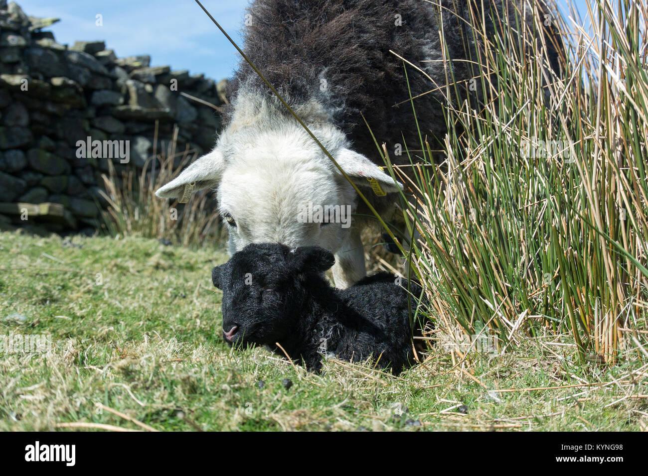 Herdwick Pecora con agnello neonato nelle aree montane pascolo, UK. Immagini Stock
