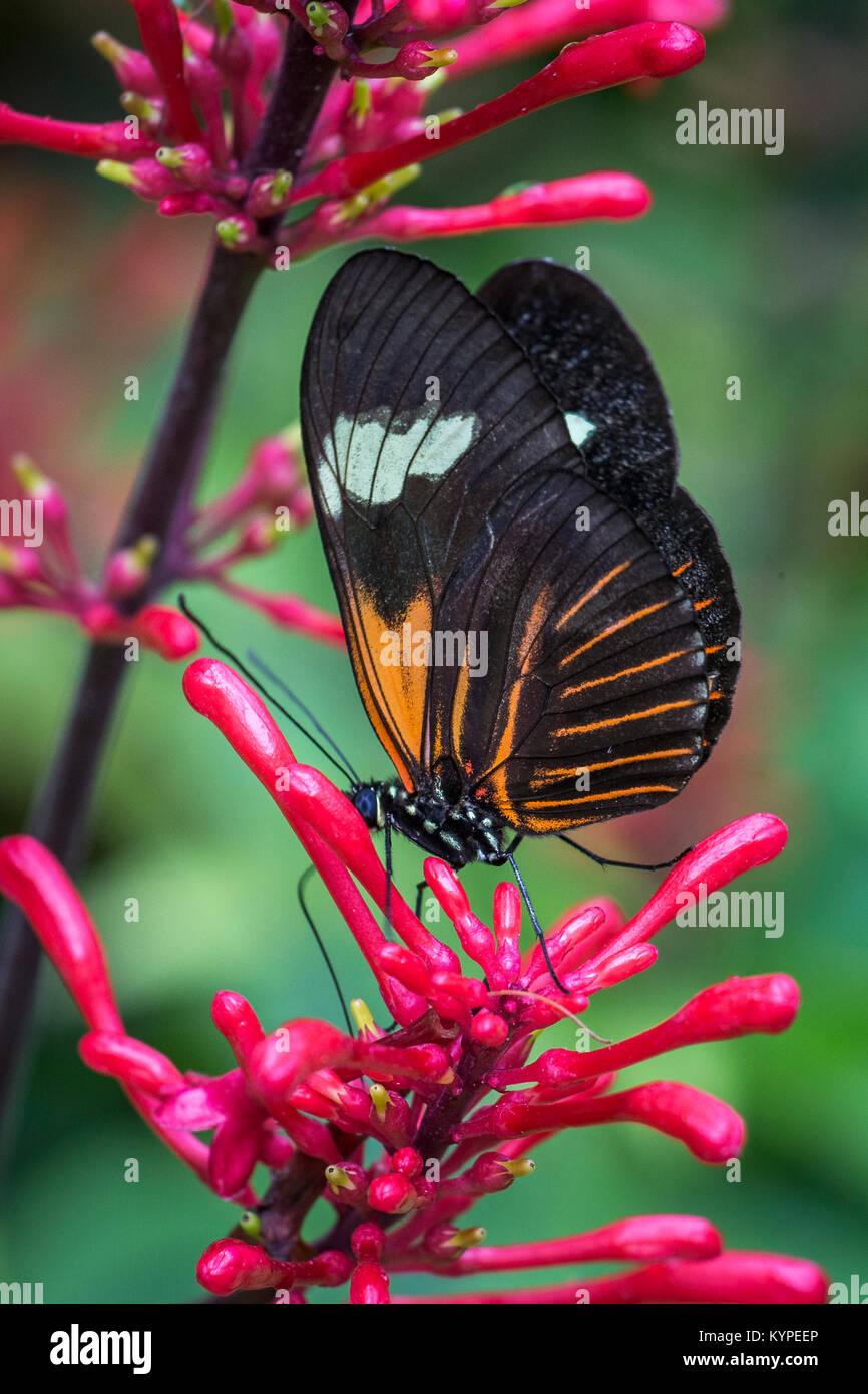 Close up di Orange in bianco e nero Heliconius erato notabilis butterfly comunemente noto come piccolo postino butterfly Immagini Stock