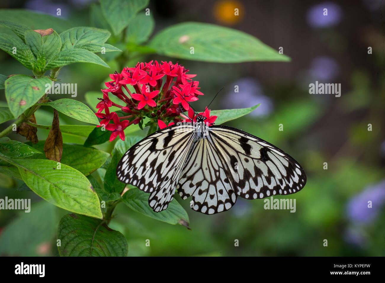 Idea leuconoe, l'aquilone di carta, carta di riso o grande albero nymph farfalla su fiori di colore rosso Immagini Stock