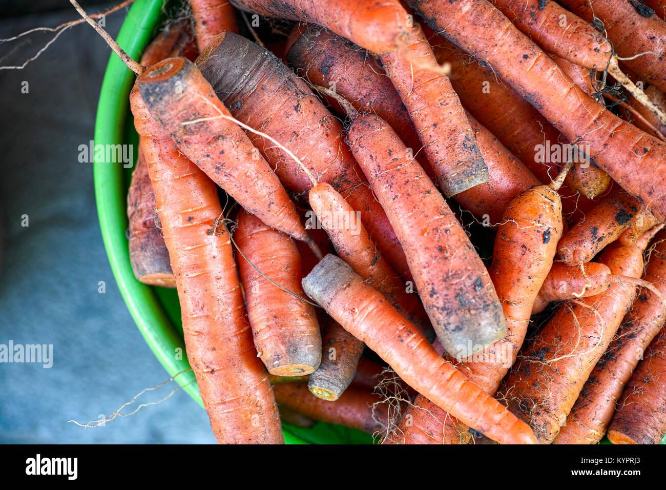 Raccolto di carote organico nella benna. Immagini Stock
