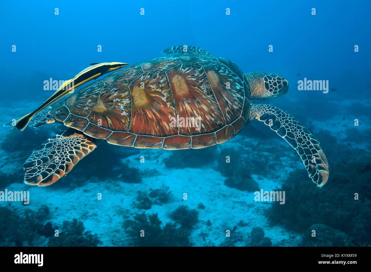 Gruene Meeresschildkroete (Chelonia Mydas) auch Suppenschildkroete oder Riesenschildkroete genannt, mit Schiffshalter, Immagini Stock