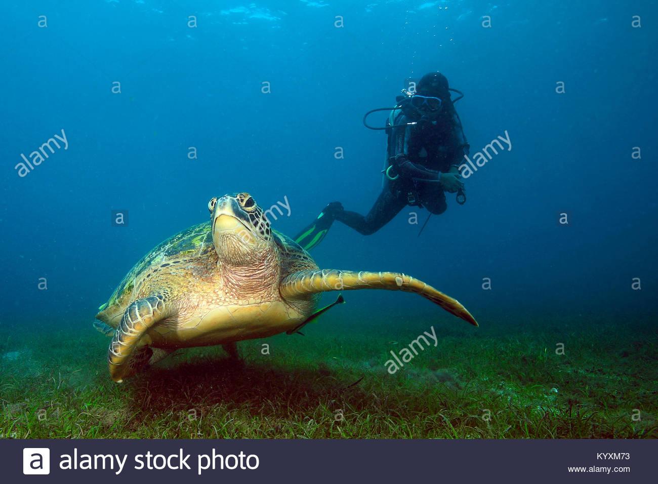 Scuba Diver e la tartaruga verde (Chelonia Mydas), Sabang beach, Mindoro island, Filippine, Asia Immagini Stock