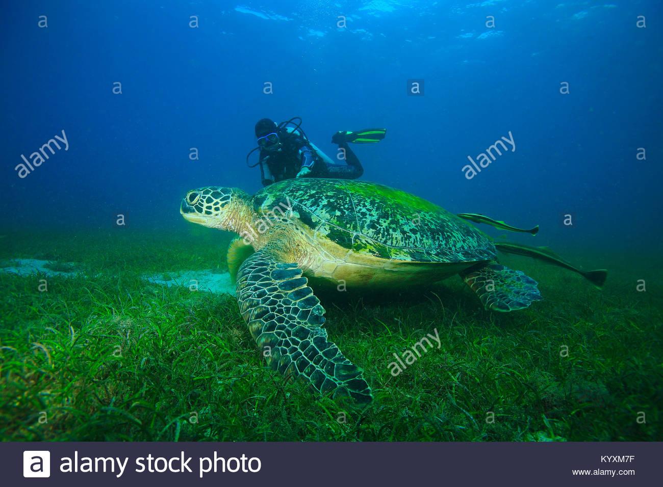 Scuba Diver e la tartaruga verde (Chelonia Mydas) con pesce a ventosa, eelgrass prato a Sabang beach, Mindoro island, Immagini Stock